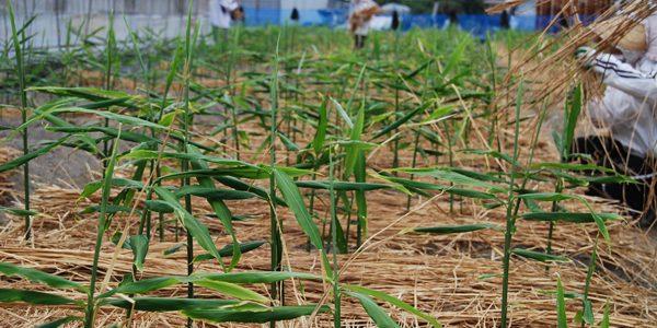 生姜畑のワラ敷き